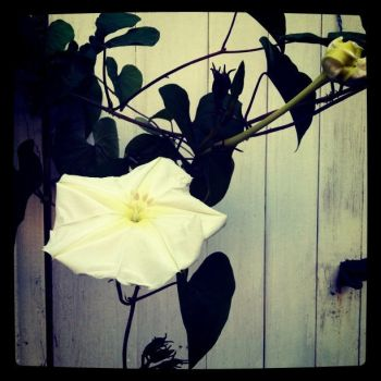 Moonflowers by prudentia