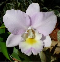 Puppy Love 'Hihimanu' Orchid by Undistilled