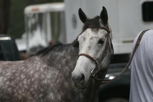 Dapple Gray Thoroughbred Mare Headshot by HorseStockPhotos