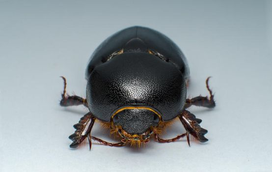 the Beetle by hamidkhan