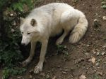North American Arctic Wolf 42 by animalphotos