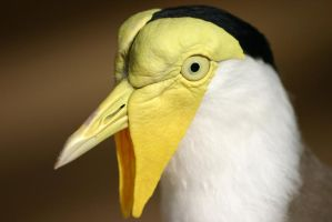 Masked Lapwing by 1ASP1