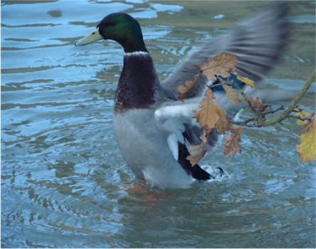 duck bathing by KRSdeviations