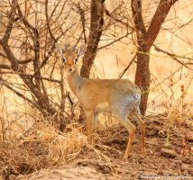 Male Dik-Dik by Okavanga