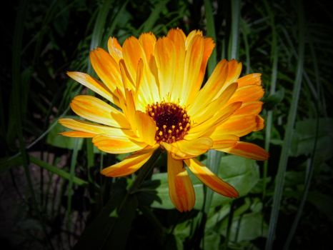 Calendula officinalis II by Paul774