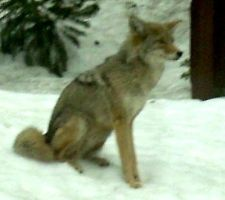 Coyote 02 by Serene-Stock