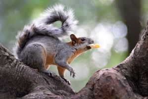 Mexico squirrel, Chapultepec park 3 by sauron-wr