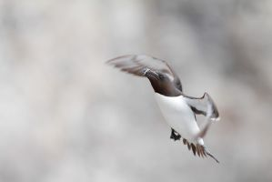 The razorbill that goes up by phalalcrocorax