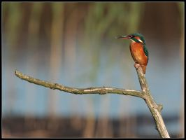 Kingfisher by cycoze