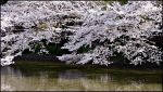 Sakura over water. by Eclipseo