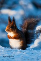 The Red Squirrel by PictureByPali