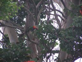 Rosella eating by tis-a-suitcase