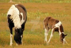Baby Horse and Mother Grazing by houstonryan