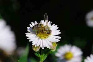 Abeille by Tanahe
