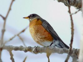 Robin Wondering by SkilledSlacker