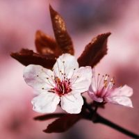just another cherry blossom picture II by st3rn1