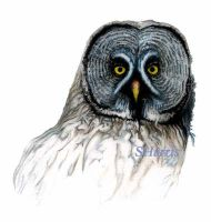 Grey Owl by Night-Sam