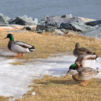 Halifax Harbour Ducks by Brian-B-Photography