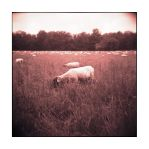 The Sheep and the Holga - No.1 by Zendar