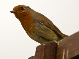 Robin on the fence by davepphotographer