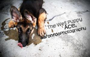 The Wet Puppy, Ace. by aaronfoo