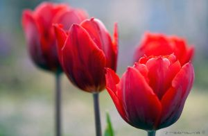 tulips bordeaux 01 by tezdesign