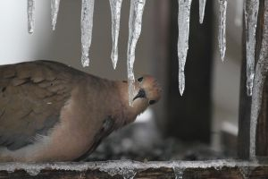 Mourning Dove by BigBigWolf
