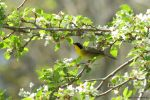 Yellow Throat in the Orchard by natureguy