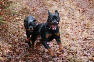 Rottweiler joy by SaNNaS
