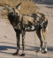 African Wild Dog 1 by Confussed-Stock