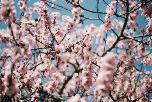 Pink Spring by WillAustinsArchive