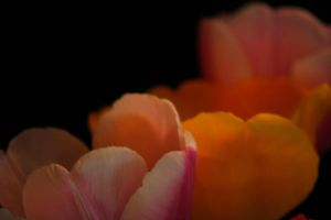 Tulip Study-07 by ncphotojunkie