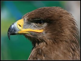 Steppe Eagle Portrait by cycoze