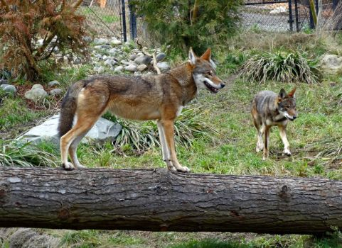 Red Wolf III by Track-Maidens