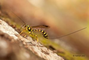 Ichneumon Wasp by melvynyeo