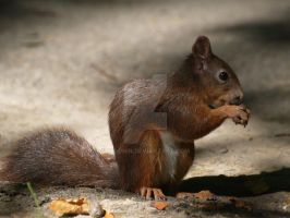 Red squirrel by 75ronin
