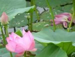 Water Lily by SteffyS