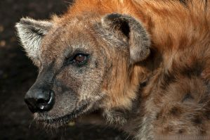Spotted Hyena Portrait by robbobert