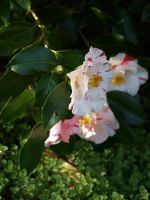 Variegated Camellia Stock 03 by botanystock