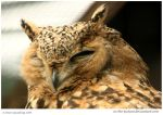 Pharaoh Eagle Owl by In-the-picture