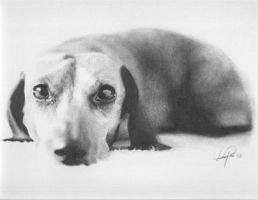 Dachshund by chandito