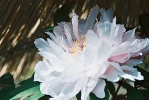 Paeonia suffruticosa 1 by freyiathelove