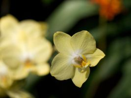 Buttery Orchid by shutterbugmom