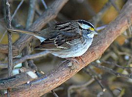 White Throated Sparrow 7 by donnatello129