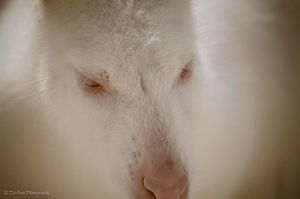 An Albino Wallaby by DeoIron