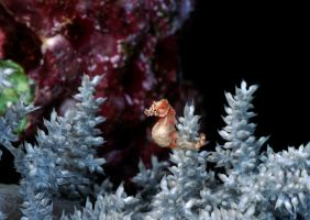 Pygmy Seahorse of Walea by LazyDugong