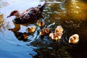 Ducklings by freyarobinson