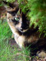 Tortie by stillnessphotography