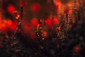 Red Crowberry Sporophytes by Nitrok