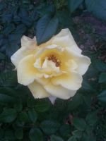 Rose 3 by Annaley